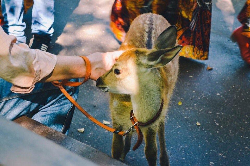 «Трогательный зоопарк оленей» на празднике открытие парка «Городок» в г. Руза.